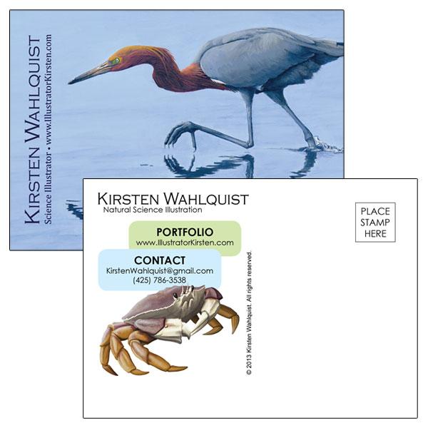 reddish egret promo postcard kirsten wahlquist illustration